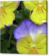 Perfectly Pansy 14 Canvas Print