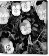 Perfectly Pansy 18 - Bw - Water Paper Canvas Print