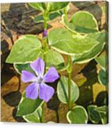 Periwinkle Canvas Print