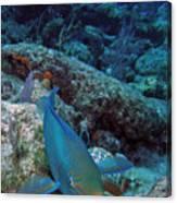 Perky Parrotfish Canvas Print