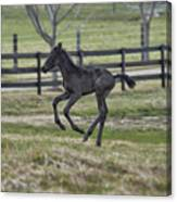 Perry's Colt Running Canvas Print