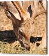 Persian Fallow Deer Canvas Print