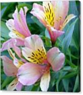 Peruvian Lily Of The Incas Canvas Print