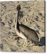Peruvian Pelican Standing On A Sandy Beach Canvas Print