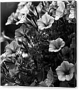 Petunias 1 Black And White Canvas Print
