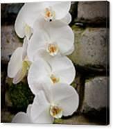 Phalaenopsis Brother White Windian Canvas Print