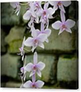 Phalaenopsis Orchid 2 Canvas Print