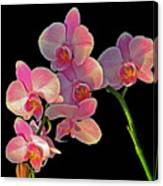 Phalaenopsis Orchid Canvas Print