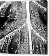 Philodendron Rain - Bw Canvas Print