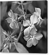 Phlox Divaricata Bw Canvas Print