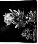 Phlox In Black And White Canvas Print