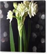 Photograph Of Narcissus Erlicheer A White Flower Canvas Print
