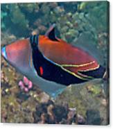 Picasso Triggerfish Up Close Canvas Print