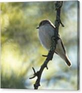 Pied Flycatcher 1 Canvas Print
