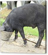 Pig Eating From A Bucket Canvas Print