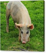 Pig Foraging Canvas Print