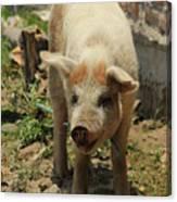Pig On A Farm Canvas Print