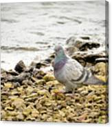 Pigeon Close To The River Canvas Print