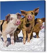 Piglets In Snow Canvas Print