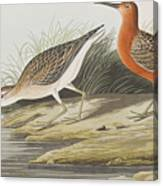 Pigmy Curlew Canvas Print