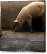 Pigs At A Hog Farm In Kansas Canvas Print