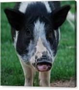 Pigs Ears Canvas Print
