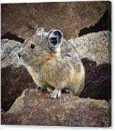 Pika - Weminuche Wilderness - Colorado Canvas Print