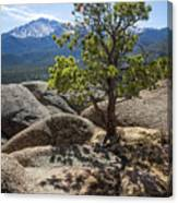 Pikes Peak Bristlecone Canvas Print