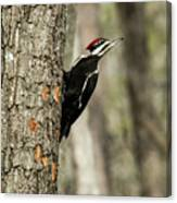 Pileated About To Take Flight Canvas Print