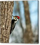 Pileated Billed Woodpecker Pecking 1 Canvas Print