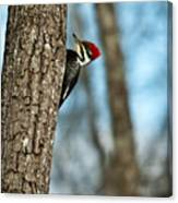 Pileated Billed Woodpecker Pecking 2 Canvas Print