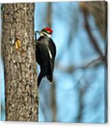Pileated Billed Woodpecker Pecking 3 Canvas Print