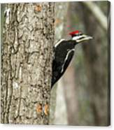 Pileated Searching - Looking Canvas Print
