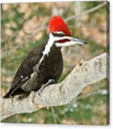 Pileated Woodpecker 6073 Canvas Print