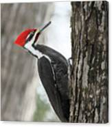 Pileated Woodpecker In Spring Canvas Print