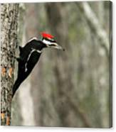 Pileated Woodpecker Looking For A Perspective Mate Canvas Print