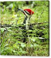 Pileated Woodpecker On The Ground No. 1 Canvas Print