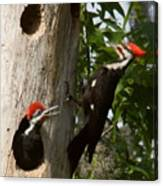 Pileated Woodpecker Ready To Fledge Canvas Print