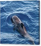 Pilot Whale 2 Canvas Print