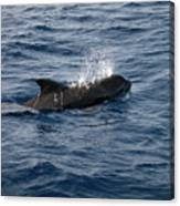 Pilot Whale 6 Canvas Print
