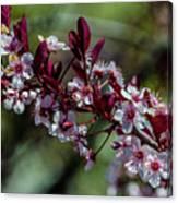Pin Cherry Blossoms Canvas Print