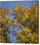 Pin Oaks In The Fall No 1 Canvas Print
