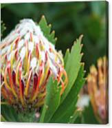 Pincushion Protea Canvas Print