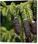 Pine Cones On The Bough Canvas Print