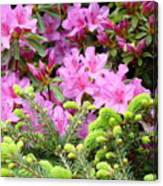 Pine Conifer Pink Azaleas 30 Summer Azalea Flowers Giclee Art Prints Baslee Troutman Canvas Print
