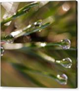 Pine Drops Canvas Print