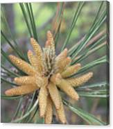 Pine Flower In Summer  Close Up Canvas Print