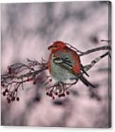 Pine Grosbeak Canvas Print