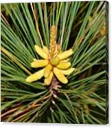Pine In Bloom Canvas Print