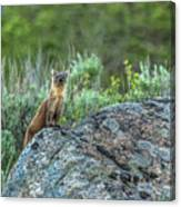 Pine Marten With Attitude Canvas Print
